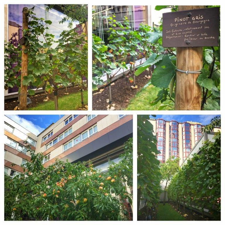 Sofitel Strasbourg Grande Ile: pátio interno com parreira de uva e árvores frutíferas como pessegueiro
